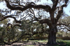 Beautiful live oak tree. Huge old live oak tree, a typical sight in Southern States. This one was photographed in Wilmington, North Carolina Stock Image