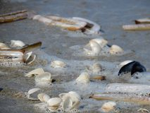 Sea shells. Beautiful lively different shells of long swords in the sea water foam and sand Royalty Free Stock Image