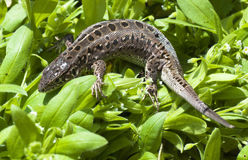 Beautiful lizard Stock Photos