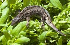 Beautiful lizard Stock Photos