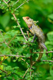 Beautiful lizard Stock Images