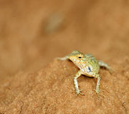 Beautiful lizard Royalty Free Stock Photos