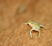 Beautiful lizard Royalty Free Stock Photos