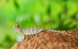Beautiful lizard Royalty Free Stock Images