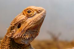 Beautiful Lizard Bearded Agama, Pogona vitticeps. A close up royalty free stock images