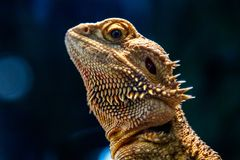 Beautiful Lizard Bearded Agama, Pogona vitticeps stock photos