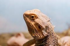Beautiful Lizard Bearded Agama, Pogona vitticeps stock images