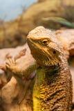Beautiful Lizard Bearded Agama, Pogona vitticeps stock image