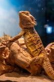 Beautiful Lizard Bearded Agama, Pogona vitticeps stock photography