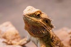 Beautiful Lizard Bearded Agama, Pogona vitticeps royalty free stock photography