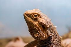 Beautiful Lizard Bearded Agama, Pogona vitticeps royalty free stock photo