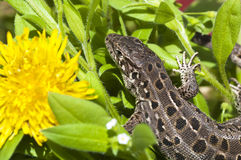 Beautiful lizard on flowers Royalty Free Stock Photo