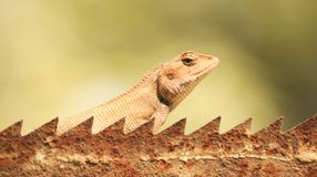 The beautiful lizard going on the wall stock photos