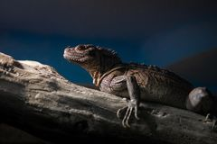 Beautiful lizard is in its natural environment. Background in nature royalty free stock image
