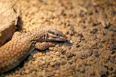 Beautiful lizard  photographed Stock Photos