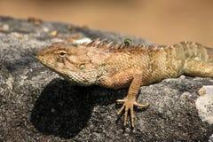 Beautiful lizard on a rock Royalty Free Stock Photos