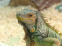 Beautiful lizard scaly with a tail green.  stock photos