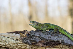 Beautiful lizard . Stock Image