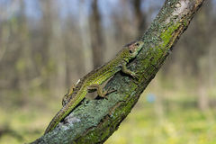 Beautiful lizard . Stock Photography