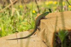 Beautiful lizard . Stock Images