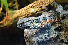 Beautiful Lizard. In the Zoo royalty free stock images