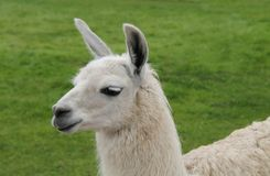 Beautiful Llama. Royalty Free Stock Photos