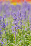Beautiful Lobelia blue Royalty Free Stock Photos