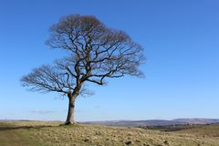 Lone Deciduous Tree in Winter. A beautiful lone deciduous tree, against a background of blue sky and the natural landscape of open moorland and hills Royalty Free Stock Photos