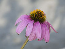 Beautiful Lone Gerber Daisy in It's Ending Bloom Royalty Free Stock Photos