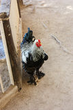 Beautiful lone rooster stands near the door on the sand Royalty Free Stock Photography