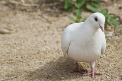 Beautiful Lone White Dove Out For a Stroll. Beautiful white dove strolling along Stock Photos