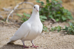Beautiful Lone White Dove Out For a Stroll. Beautiful white dove strolling along Stock Images