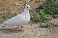 Beautiful Lone White Dove Out For a Stroll Stock Photos
