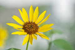 Beautiful Lone Wild Sunflower With White Background. Beautiful lone wild sunflower blooming in the summer sun against a white background Stock Image