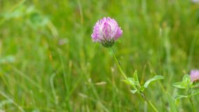 Beautiful lonely clover in wild fields stock footage