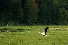 Beautiful lonely stork, spreading  wings, walking on sunny meado Royalty Free Stock Photo