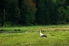 Beautiful lonely stork, spreading  wings, walking on sunny meado Royalty Free Stock Image