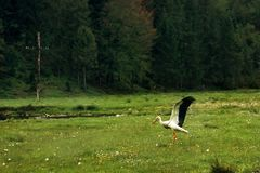 Beautiful lonely stork, spreading  wings, walking on sunny meado Stock Photo