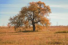 Lonely tree with orange foliage on a meadow in autumn stock image
