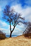 Beautiful lonely tree on a sand dune Royalty Free Stock Images