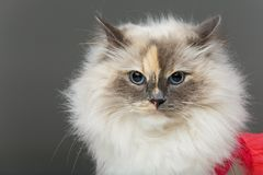 Beautiful birma cat in pink dress. Beautiful long fur birma cat wearing pink coral dress isolated on white. studio shot. copy space Stock Photography