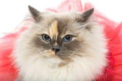 Beautiful birma cat in pink dress. Beautiful long fur birma cat wearing pink coral dress isolated on white. studio shot. copy space Royalty Free Stock Photos