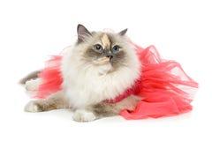 Beautiful birma cat in pink dress. Beautiful long fur birma cat wearing pink coral dress isolated on white. studio shot. copy space Royalty Free Stock Photo