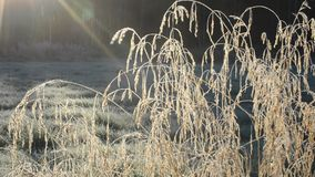 Beautiful long golden straws in late autumn morning sunshine swaying in light breeze in the arctic circle closeup stock video footage