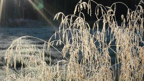 Beautiful long golden straws in late autumn morning sunshine swaying in light breeze in the arctic circle closeup stock video