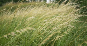 Beautiful long grass moving in wind. Meadow grass background. stock footage