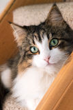Beautiful long hair maine coon cat Royalty Free Stock Image