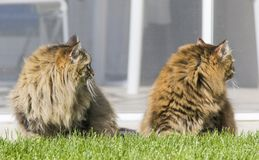 Brown tabby cats in the garden, siberian breed Stock Images