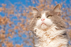 Beautiful long haired diluted calico cat Royalty Free Stock Images