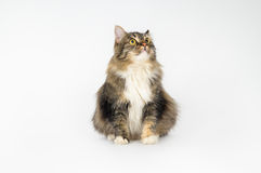 Beautiful long-haired fluffy cat sits Royalty Free Stock Image